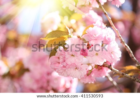 Spring Blossom. Beautiful Pink Flowers. Sakura
