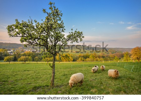 Spring evening with sheep
