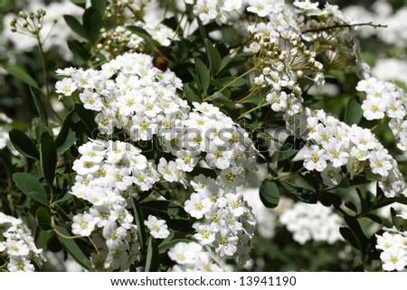 Arbustos de floración temprana - Columbia-Metro - Enero / Febrero 2015