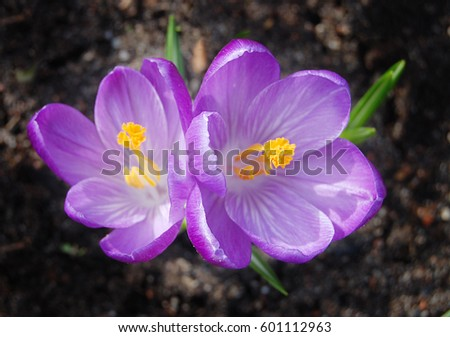 spring flower crocus in purple color macro with leaves green and dark background