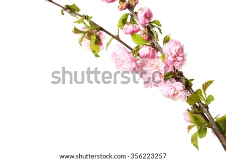 Spring flowering branch on white background