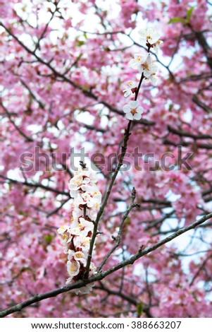 Spring flowering cherry and plum trees