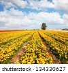Spring flowering. Peony garden beautiful fields of ranunculus grown in the south  - stock photo