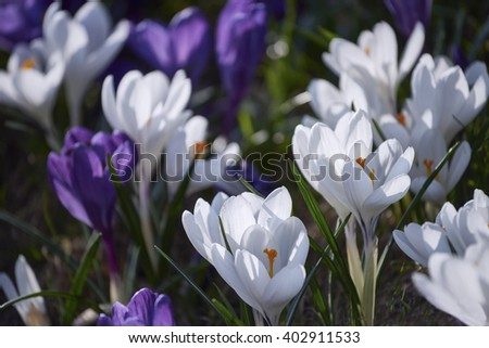 Spring flowers. Blooming crocuses in mountains. Glade primroses. Solar landscape.