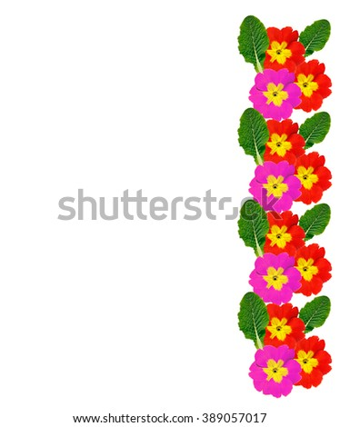 spring flowers primula isolated on white background. beautiful flowers