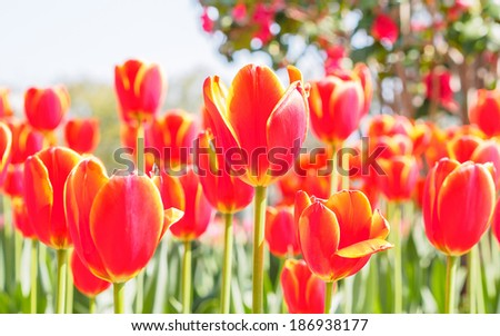 Spring flowers series, red tulips with yellow edge against strong sun shine, very charming transparent petals