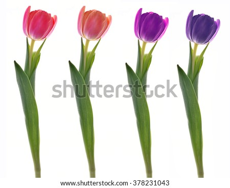 spring flowers. Tulips isolated on white