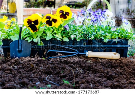 Spring gardening.  Pots of violas and pansies with trowel, cultivator, and watering can on cultivated soil.