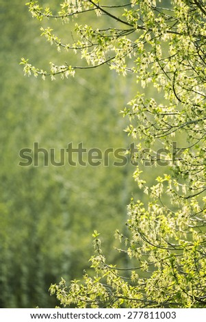 Spring green background, tree branch lit by the sun