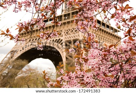 Spring in Paris. Bloomy cherry tree and the Eiffel Tower. Focus on flowers