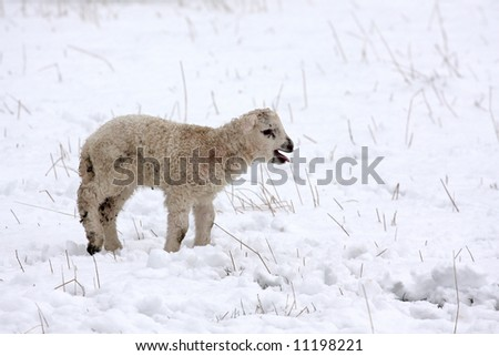 Spring lamb in the snow, Aberdeen, Scotland