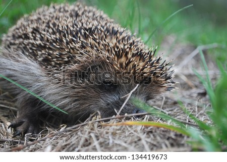 Spring, the hedgehog is on the green grass
