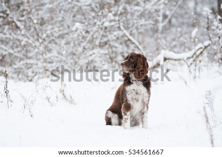 springer spaniel dog outdoors on a snowy winter day