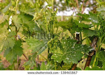 Sprout with young grape clusters in nature