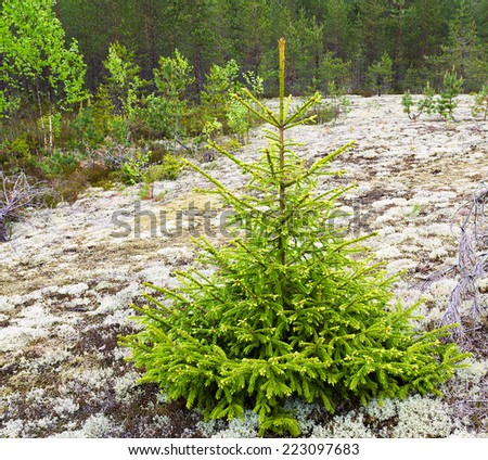 spruce tree  in the forest