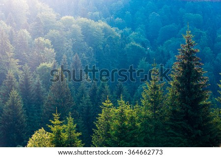 Spruce trees in the morning sunlight. Carpathian mountains. Ukraine.