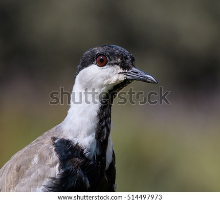 Spur-winged Lapwing Portrait