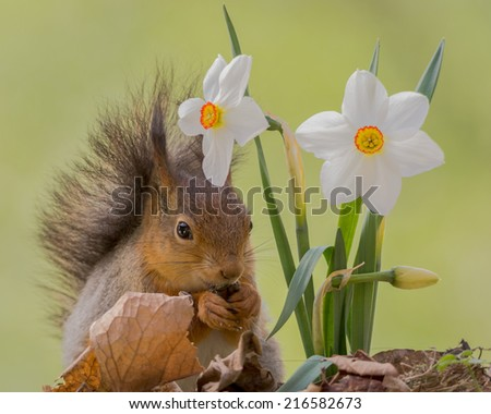 squirrel sitting behind daffodil