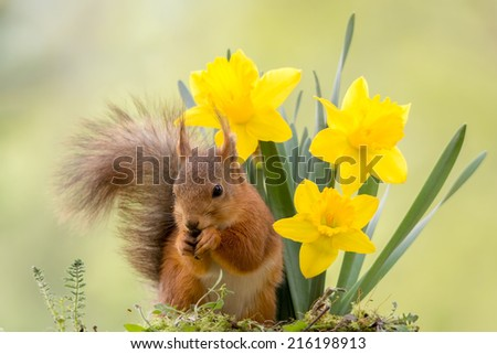 squirrel standing before yellow daffodil