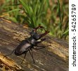 Stag-beetle on rotten trunk - stock photo