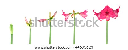 Stages of growth - Amaryllis on white background