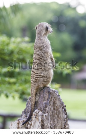 Standing Meerkat taking from back in blur background