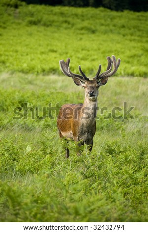 Single horned roe deer