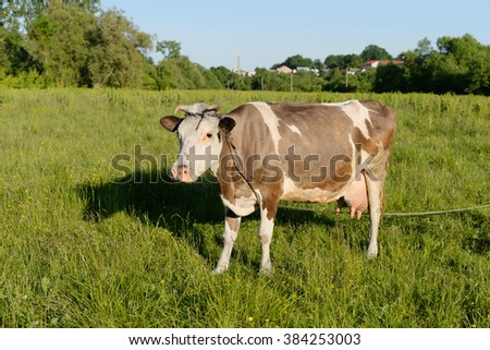 Stock image of a cow on a summer pasture