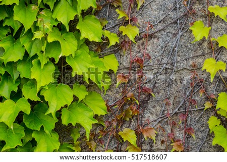 stone wall covered with green  ivy, texture, overgrown wall