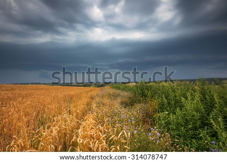 Storm clouds over wheat field. Danger weather with dark sky over fields