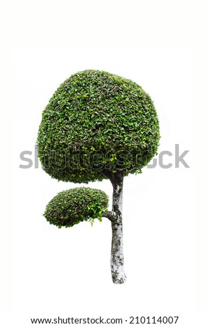 Streblus asper, toothbrush tree isolated background