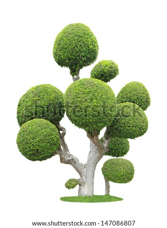 Streblus asper tree isolated on white background