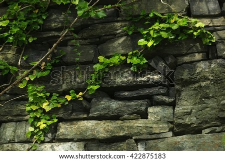 String of Green Ivy in Rock Wall