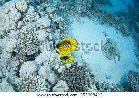 Striped butterfly fish_ Chaetodon austriacus, Red Sea, Sinai, Egypt