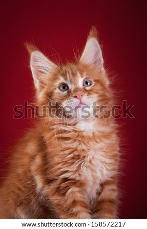 striped kitten. Kittens Maine-Coon