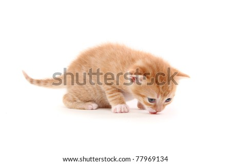 striped purebred kitten. isolated at white