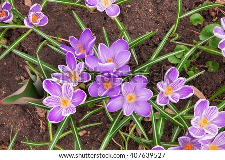 striped purple crocuses on the ground, spring flowers