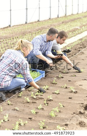 Students in agriculture planting organic lettuce in greenhouse