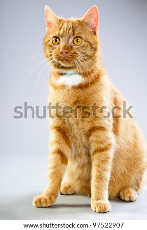 Studio portrait of red cat isolated on grey background