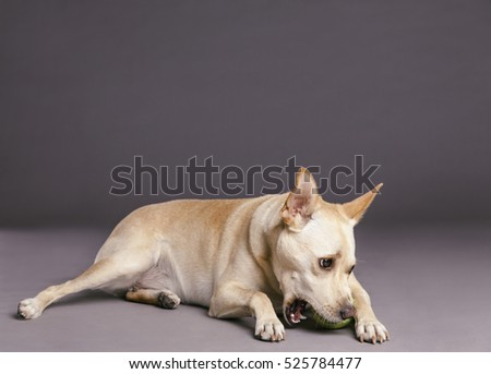 Studio shot of a mixed breed dog chewing on a tennis ball on gray background.