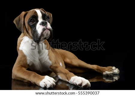 Best Boxer Black Adorable Dog - stock-photo-studio-shot-of-an-adorable-boxer-dog-lying-on-black-background-555390037  Gallery_973559  .jpg