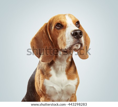 Studio shot of beagle dog over light gray background