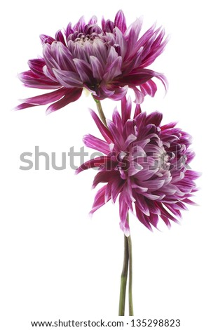 Studio Shot of Magenta Colored Dahlia Flowers Isolated on White Background. Large Depth of Field (DOF). Macro. Symbol of Elegance, Dignity and Good Taste.