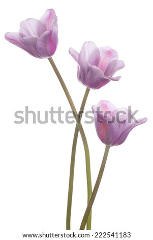 Studio Shot of Magenta Colored Tulip Flowers Isolated on White Background. Large Depth of Field (DOF). Macro. National Flower of The Netherlands, Turkey and Hungary.