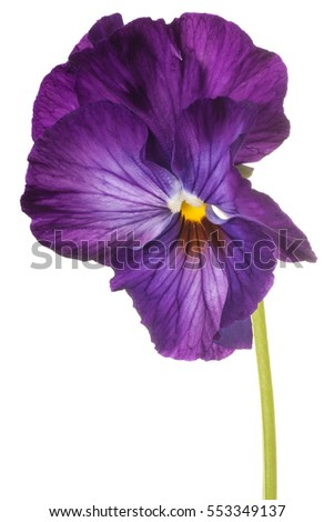Studio Shot of Purple Colored Pansy Flower Isolated on White Background. Large Depth of Field (DOF). Macro.