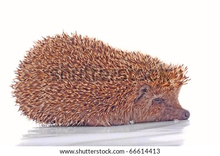 Studio shot of the hedgehog isolated on white