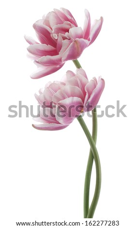 Studio Shot of White and Magenta Colored Tulip Flowers Isolated on White Background. Large Depth of Field (DOF). Macro. National Flower of The Netherlands, Turkey and Hungary.