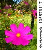 Stunning close up of 'Cosmos Selections' Flower with beautiful garden in background, South West Australia - stock photo