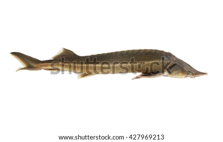 Sturgeon fish isolated on white background