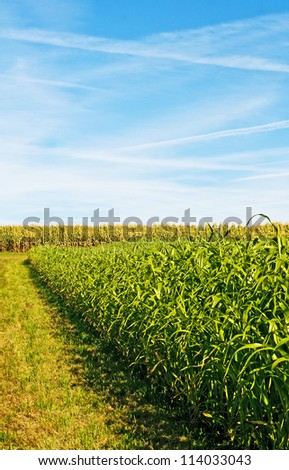 Sudan grass and corn energy plants for gas and fuel